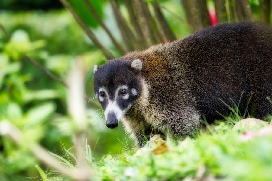 Coatimundi in Panamá | VISTACANAS.COM