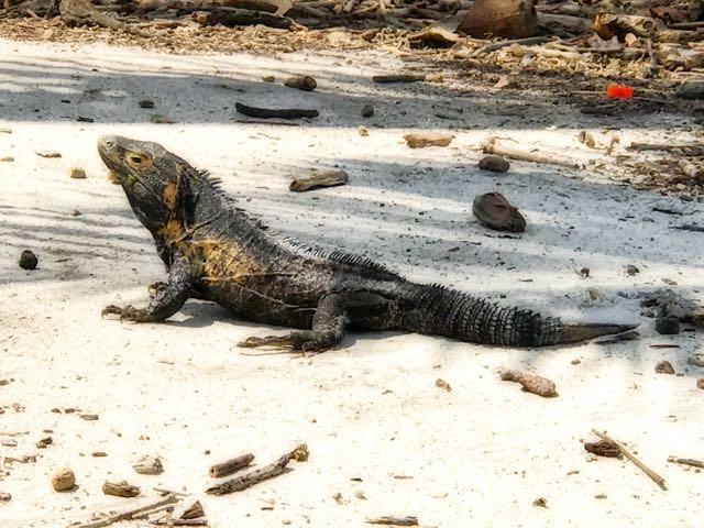 Black Iguana on Isla Iguana, Panama   VISTACANAS.COM