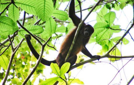 howler monkey on la cascada trail, eco venao | VISTACANAS.COM