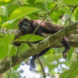 Howler monkey in Panamá | VISTACANAS.COM