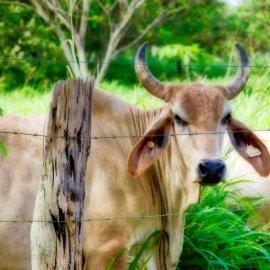 Brahmin cow in Panamá | VISTACANAS.COM